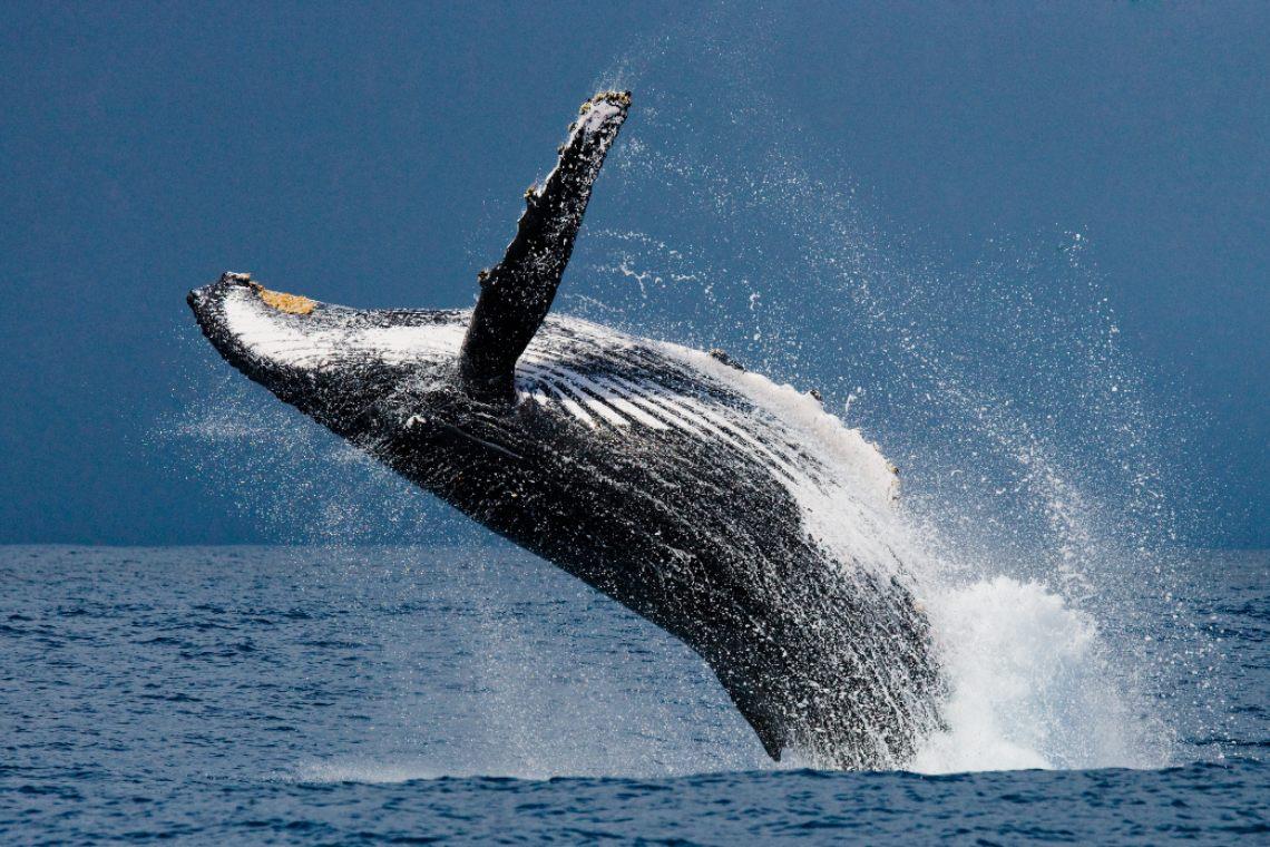 Bitcoin: nuovo massimo storico per le balene